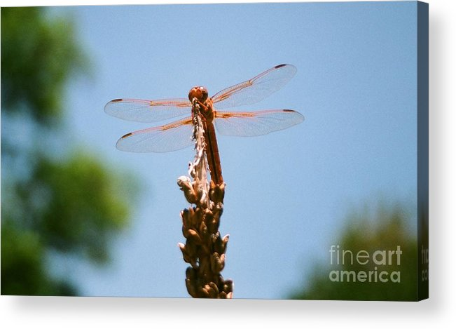 Dragonfly Acrylic Print featuring the photograph Red Dragonfly by Dean Triolo