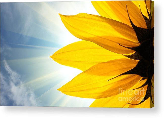 Big Acrylic Print featuring the photograph Sunflower Detail Isolated On White by Logoboom