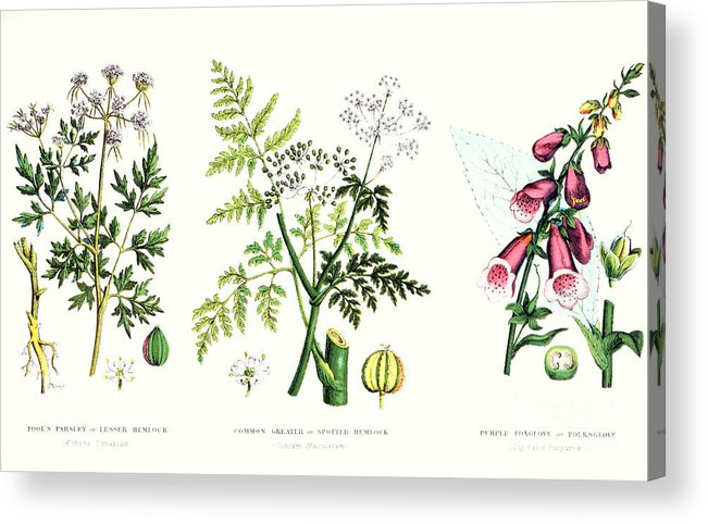 Botany; Botanical; Medicine; Medical; Plant; Flower; Flowers; Toxic Acrylic Print featuring the painting Common Poisonous Plants by English School