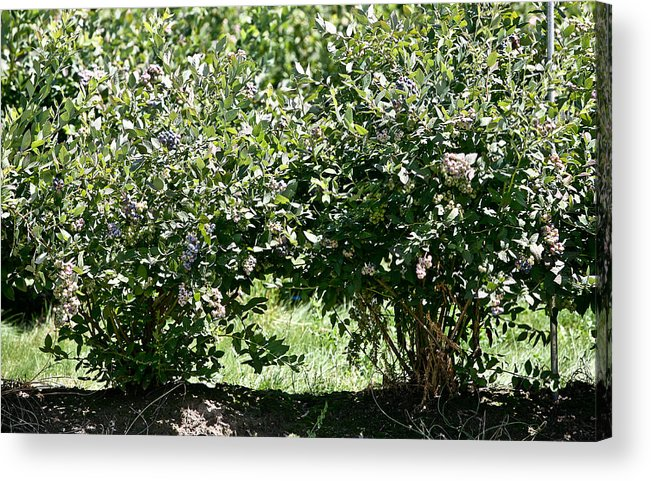 Acrylic Print featuring the photograph Blueberries 2 by Liz Santie