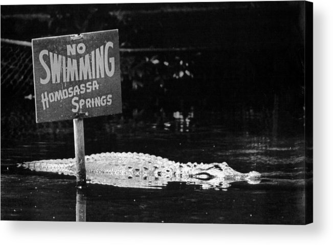 Retro Images Archive Acrylic Print featuring the photograph Gator At Homossa Springs by Retro Images Archive