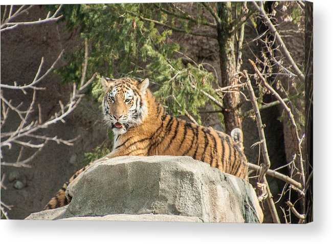 Amur Tiger Acrylic Print featuring the photograph Here Kitty Kitty by Joyce Charron