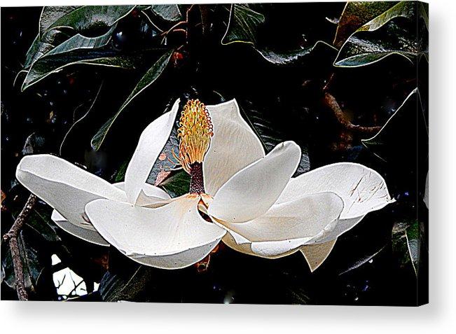 Nola Acrylic Print featuring the photograph New Orleans Metamorphous Of The Southern Magnolia Spring Equinox In Louisiana by Michael Hoard