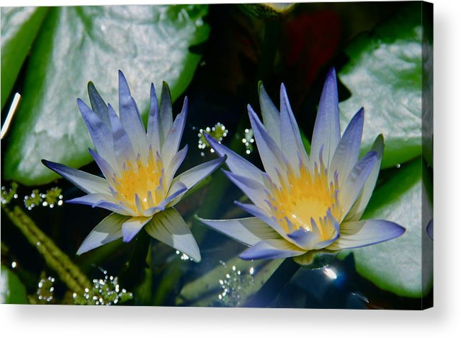 Water Lily Acrylic Print featuring the photograph Two Blue Water Lilies by Deanne Rotta