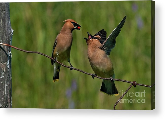 Festblues Acrylic Print featuring the photograph Waxwing Love.. by Nina Stavlund