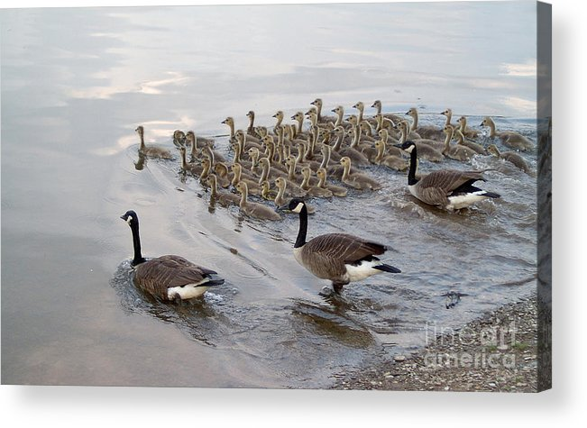 Ducks Ducklings Water Lake Breeding Acrylic Print featuring the photograph 1 2 3 Go by Vilas Malankar