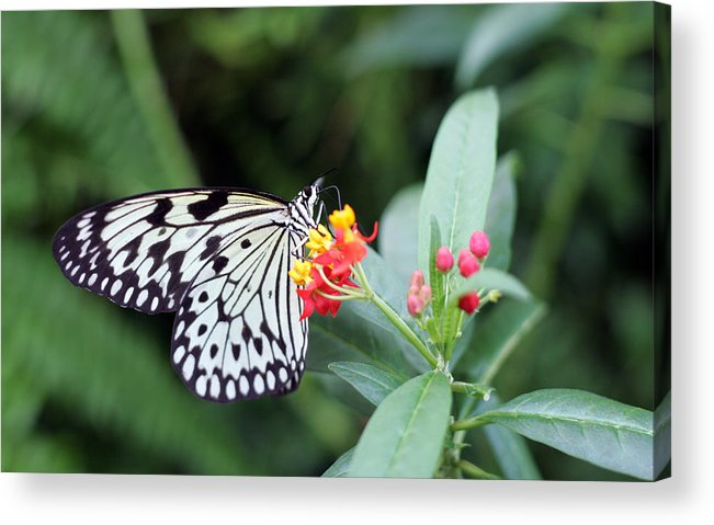 Black And White Butterfly Acrylic Print featuring the photograph Black And White Butterfly by Abiy Azene