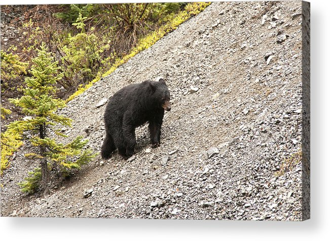 Black Bear Acrylic Print featuring the photograph Black Bear 1893 by Larry Roberson
