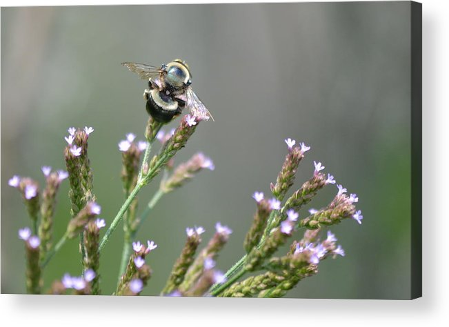 Bee Acrylic Print featuring the photograph Digger Bee by Kathy Gibbons