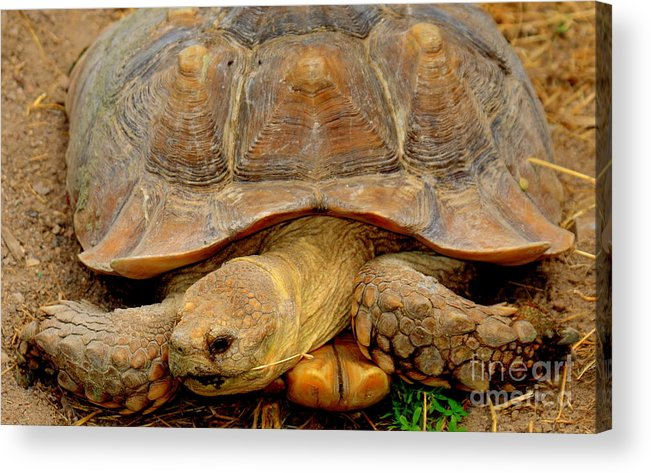 Giant Tortoise Acrylic Print featuring the photograph Giant Tortoise by Patrick Short