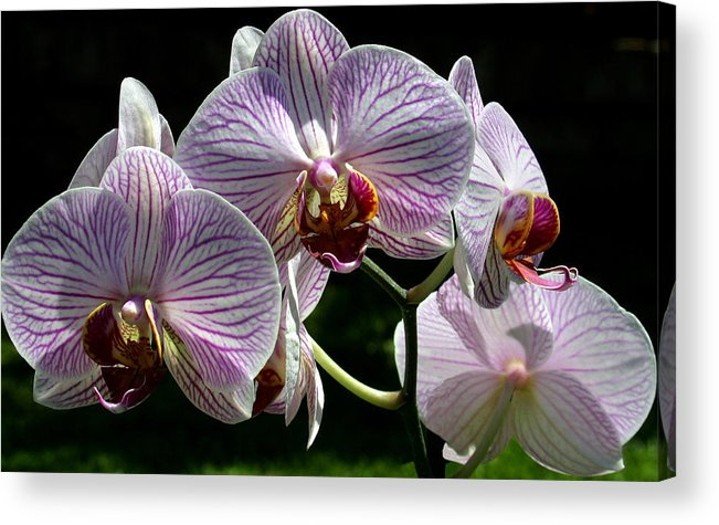 Ribet Acrylic Print featuring the photograph Orchid Flower Blooms by C Ribet