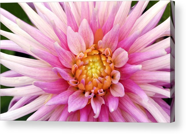 Dahlia Acrylic Print featuring the photograph Pink Dahlia by Dave Mills