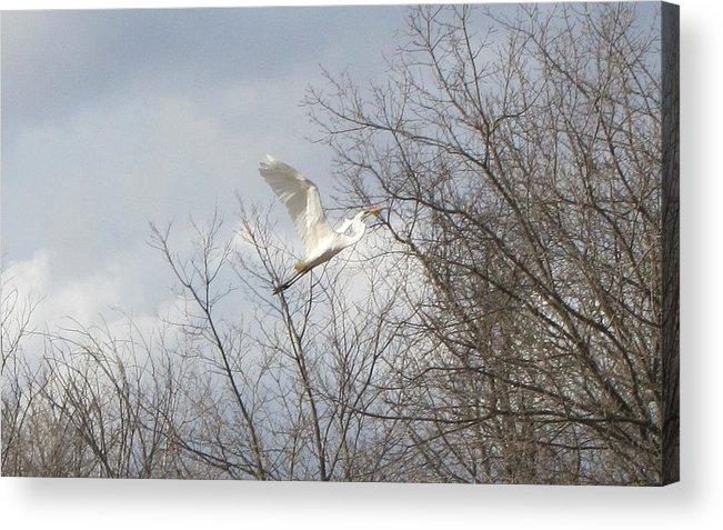 Great Egret Acrylic Print featuring the photograph Great Egret by Amie Phillips