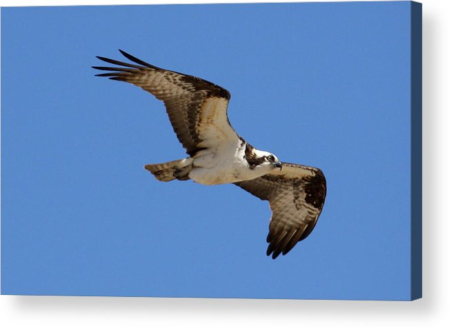 Osprey Acrylic Print featuring the photograph Osprey by Annie Babineau