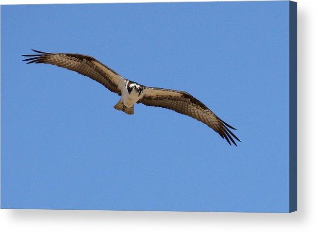 Osprey Acrylic Print featuring the photograph Osprey by Annie Babineau