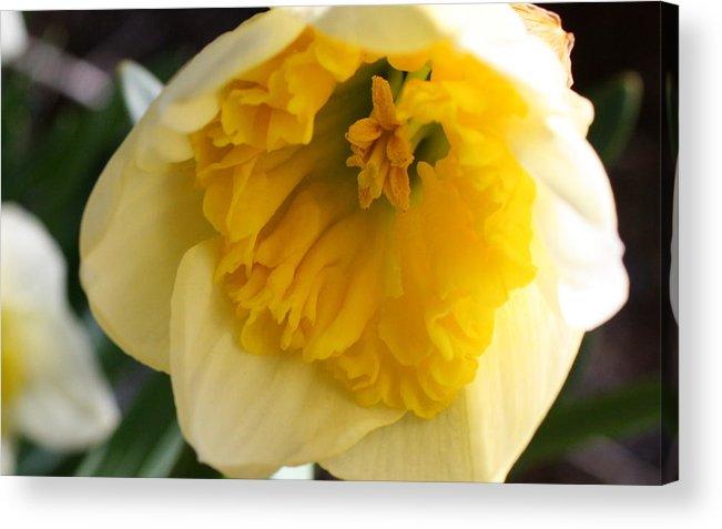Daffodil Acrylic Print featuring the photograph Daffodil Days by Annie Babineau