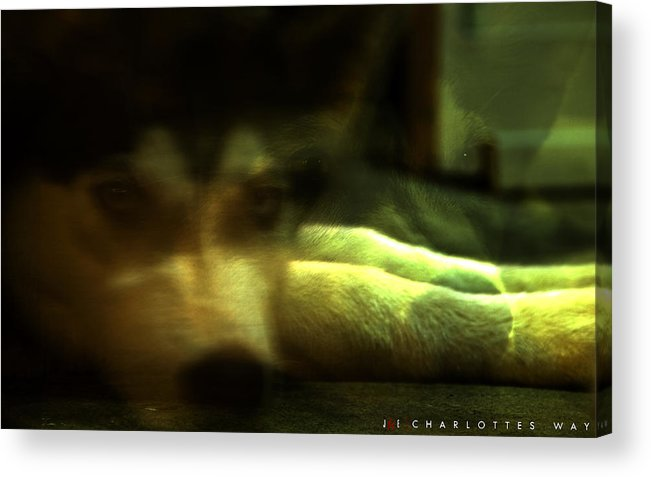 Dog Acrylic Print featuring the photograph Charlotte's Way by Jonathan Ellis Keys
