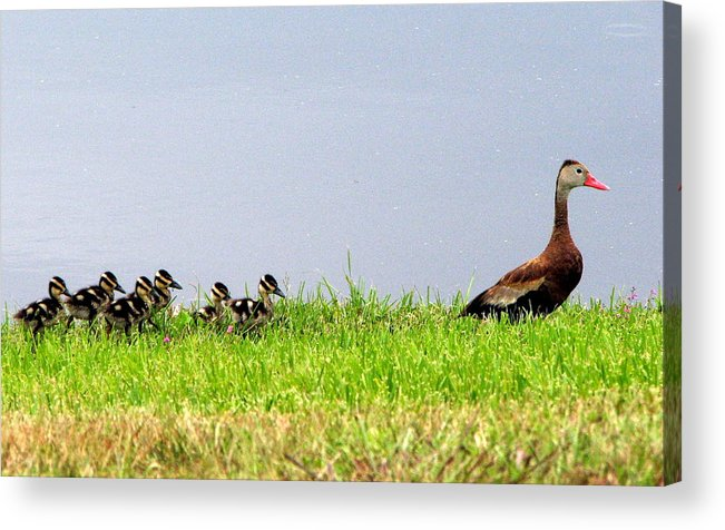 Bird Acrylic Print featuring the photograph Duck Walk by T Guy Spencer
