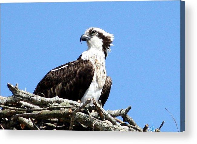 Osprey Acrylic Print featuring the photograph Female Osprey by Annie Babineau