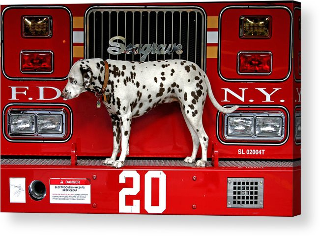 Dalmation Acrylic Print featuring the photograph Fire Dog by Bryan Hochman