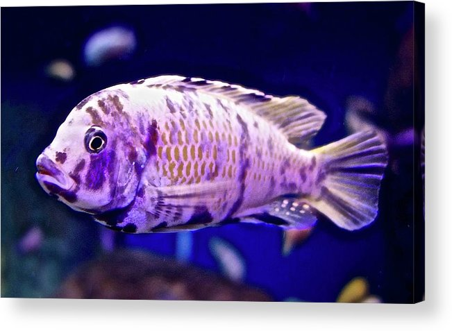 Calico Goldfish Acrylic Print featuring the photograph Calico Goldfish by Joan Reese