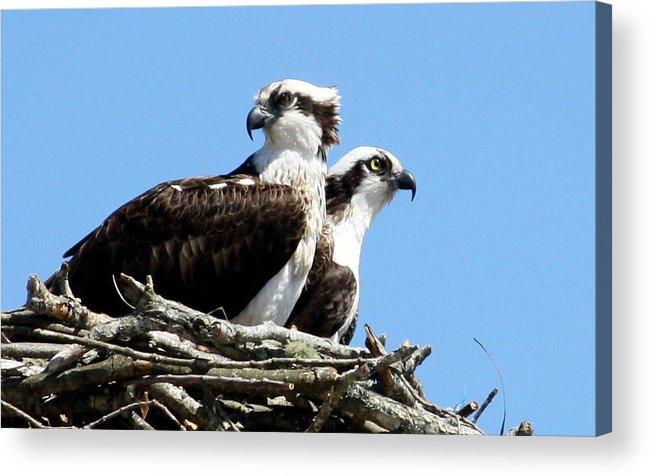 Osprey Acrylic Print featuring the photograph Osprey Pair by Annie Babineau