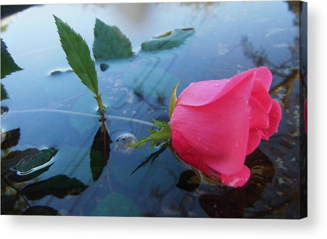 I Surrender My Self To You. Acrylic Print featuring the photograph Rose And Water. by Nereida Slesarchik Cedeno Wilcoxon