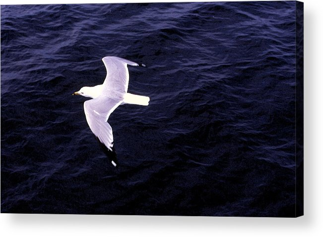 Sea Gull Acrylic Print featuring the photograph Sea Gull Over Water Dbwc by Lyle Crump