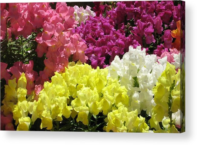 Snapdragons Acrylic Print featuring the photograph Snapdragons by Rebecca Shupp