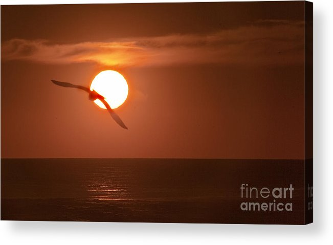 Gull Acrylic Print featuring the photograph Sunset Gull No.1 by Scott Evers