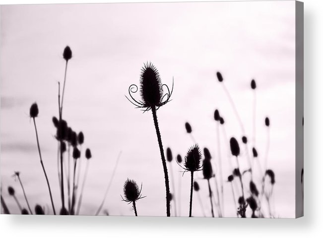 Teasel Acrylic Print featuring the photograph Teasels In A French Field II by Gareth Davies