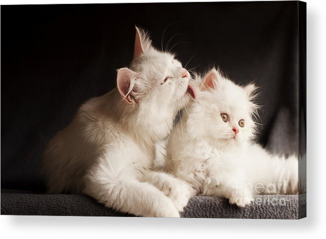 Cleaning Acrylic Print featuring the photograph Adorable White Persian Cats, Mother by Dreambig