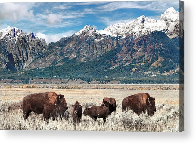 Bison Acrylic Print featuring the photograph Wild Bison On The Open Range by Kathleen Bishop