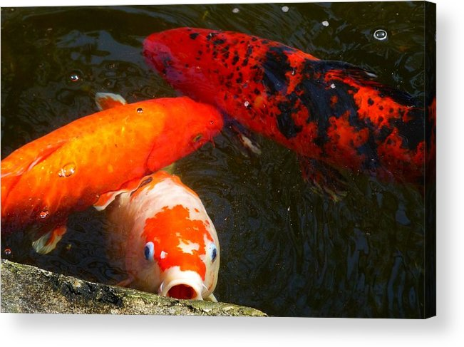 Koi Fish Acrylic Print featuring the photograph 044 Koi Looks For Treats by Carol McKenzie