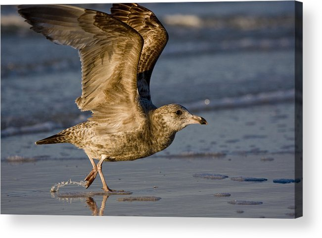 Gull Acrylic Print featuring the photograph Gull by Sandy Swanson
