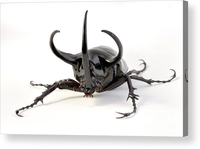 Atlas Beetle Acrylic Print featuring the photograph Atlas Beetle by Francesco Tomasinelli
