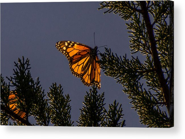 Monarch Acrylic Print featuring the photograph Back Lit Monarch by Randy Straka