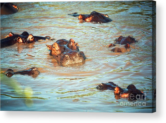 Hippo Acrylic Print featuring the photograph Hippopotamus Group In River. Serengeti. Tanzania by Michal Bednarek