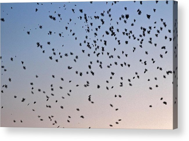 Birds Acrylic Print featuring the photograph In Flight by Cath Dupuy