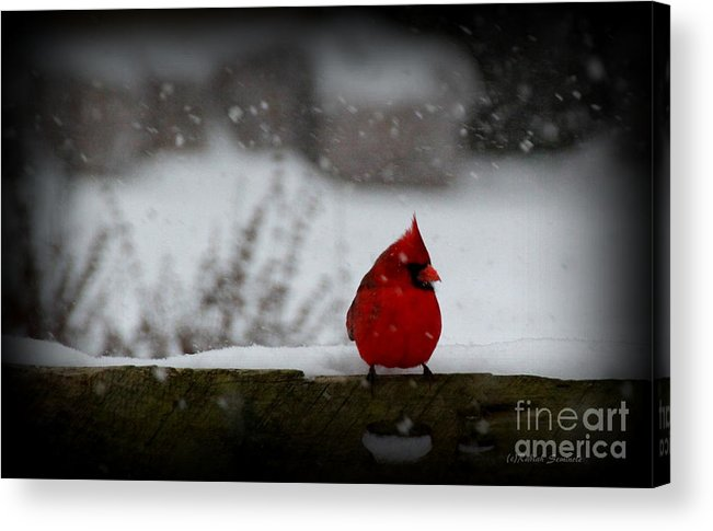 Cardinal Acrylic Print featuring the photograph It's Snowing by Rabiah Seminole