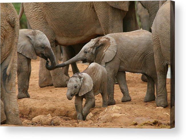 Elephant Acrylic Print featuring the photograph Pachyderm Pals by Bruce J Robinson