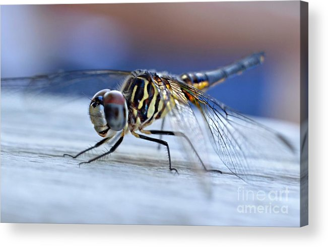 Tiger Dragonflies Acrylic Print featuring the photograph Stop By Tiger Dragon Fly by Peggy Franz