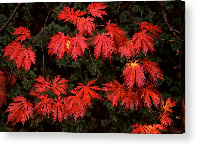 Nature Acrylic Print featuring the photograph Autumn Leaves by David Resnikoff