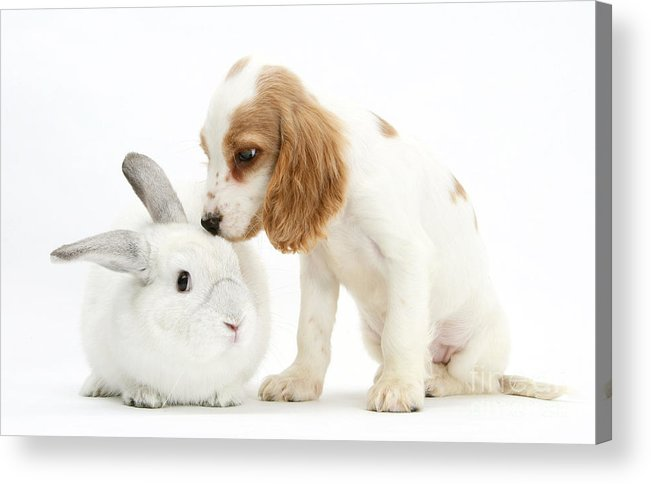 Nature Acrylic Print featuring the photograph Cocker Spaniel And Rabbit by Mark Taylor