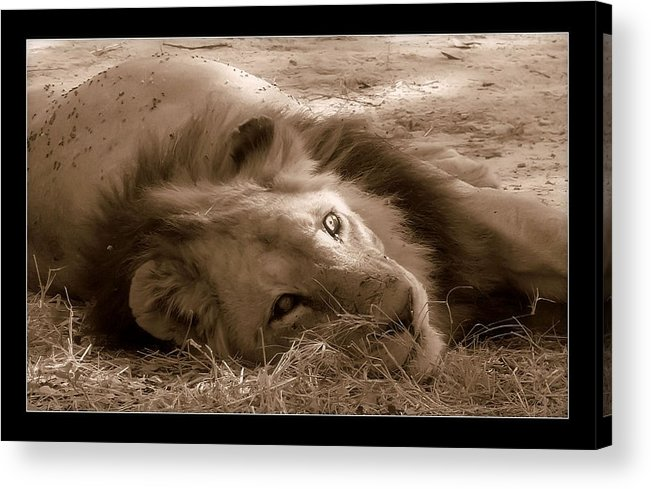 Lion Acrylic Print featuring the photograph Lion Of Afrrica by Helen Ahlers