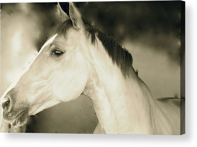 Horse Prints Acrylic Print featuring the photograph Sage by Tess Marie