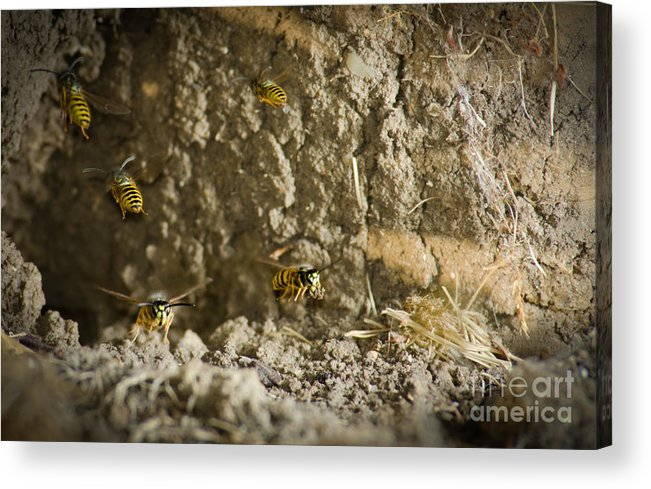 Yellow-jacket Acrylic Print featuring the photograph Shift Change Yellow-jacket Wasps Flying Out To Forage As Others Return To The Nest by Andy Smy