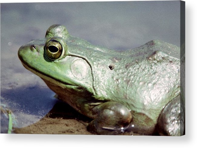 Frog Acrylic Print featuring the photograph 022907-9 by Mike Davis
