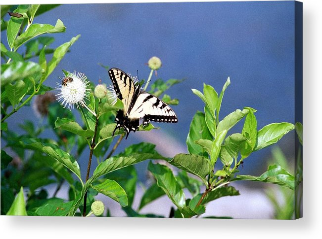 Butterfly Acrylic Print featuring the photograph 080706-7 by Mike Davis