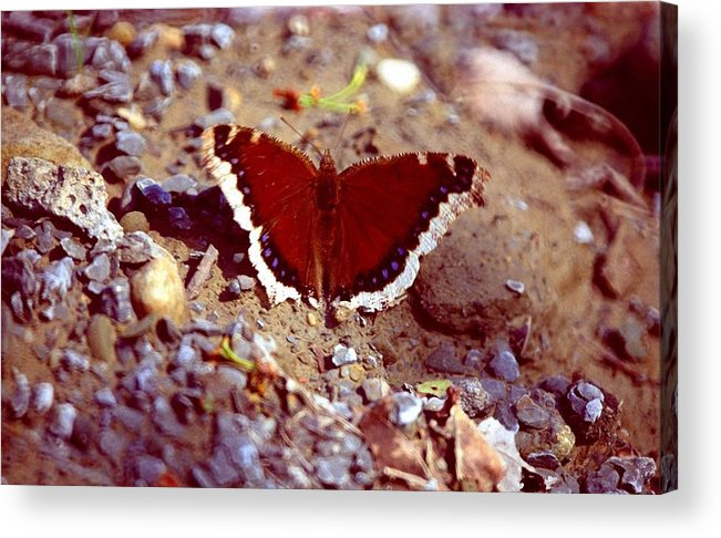 Butterfly Acrylic Print featuring the photograph 113093-1 by Mike Davis